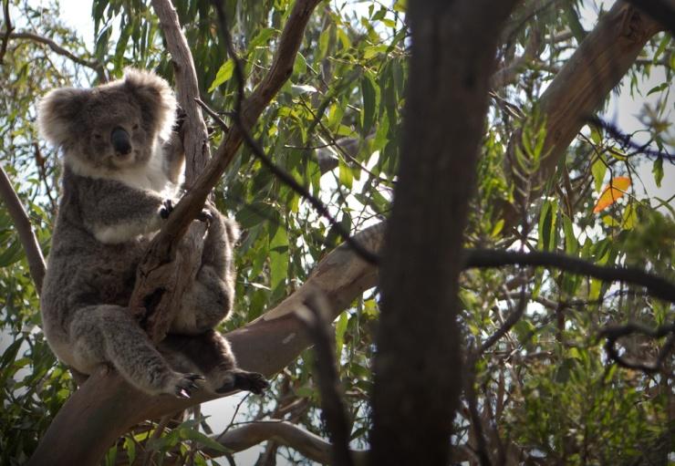 It's a bloody Koala!!