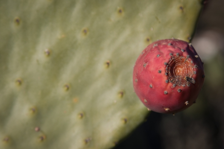 One of the many prickly pears around